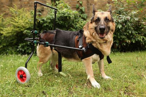 animal  Artrite em cães Causas e Tratamento