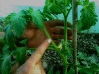 varvuri plante tomate