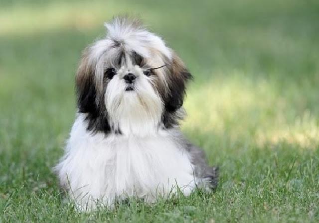 Büyümeyen Köpek Cinsleri Hangileri