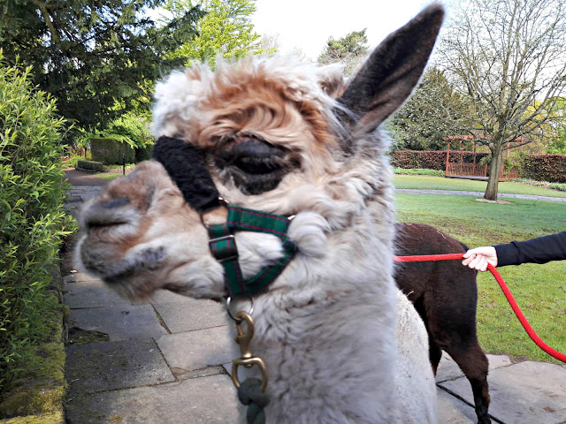 Walton Hall zoo alpacas - Jim