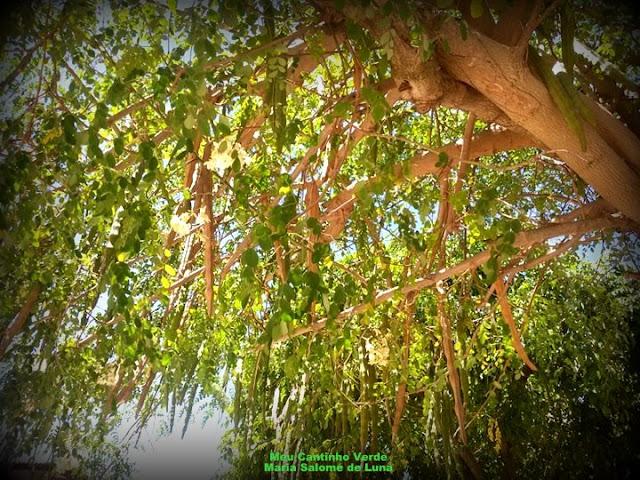 MORINGA, ACÁCIA-BRANCA -  ( Moringa oleifera )