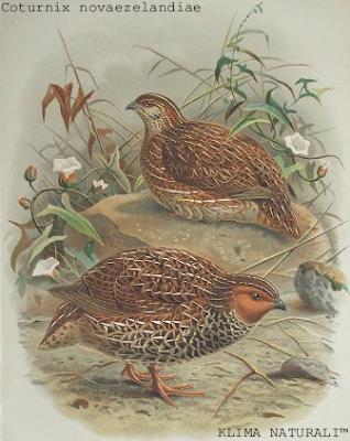Codorniz-da-Nova Zelândia ou Koreke, Ave da Família Phasianidae