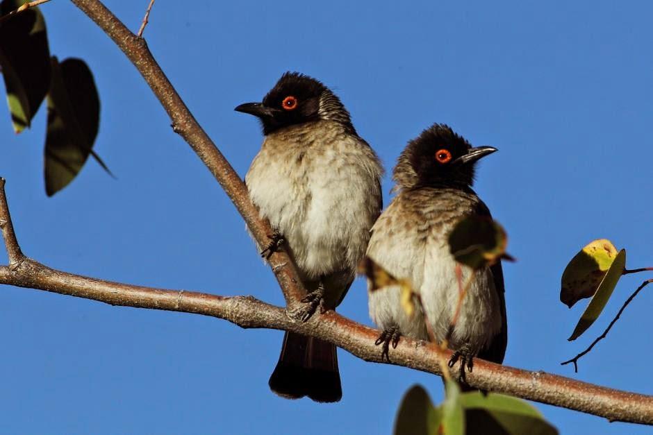 Bulbul encapuchado Pycnonotus nigricans