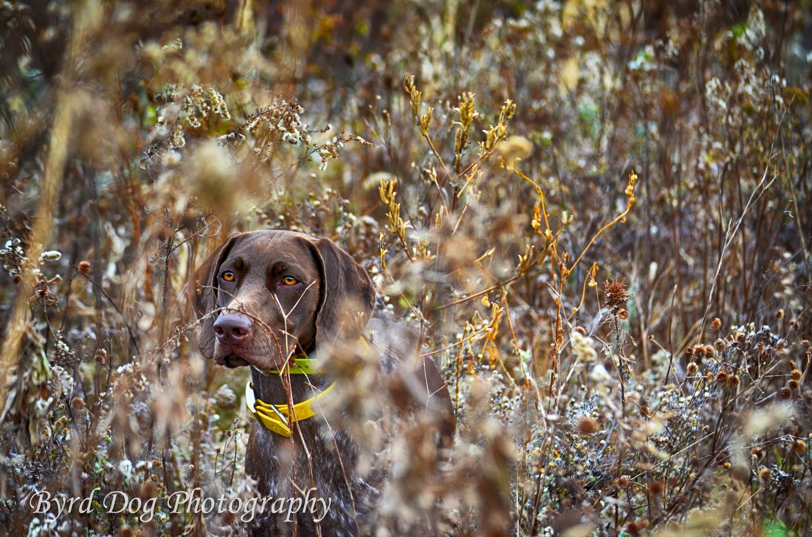 Adventures of a GSP Hunting Dog: First Pheasant Hunt of the
