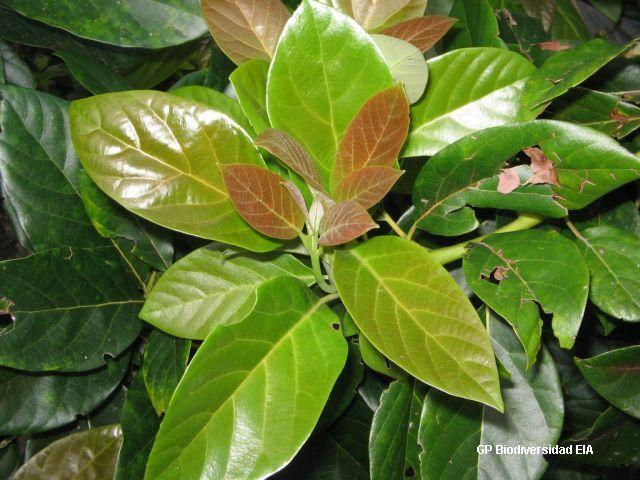 Resultado de imagen para hojas de aguacate
