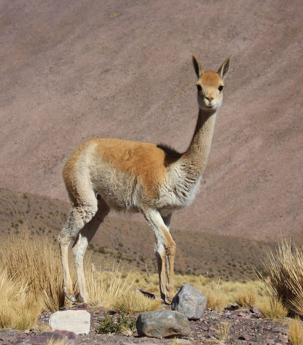 Ecofriendly: Vicuña