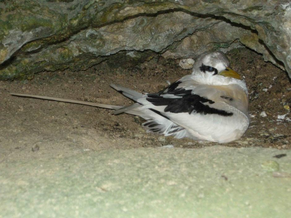 White tailed Tropicbird