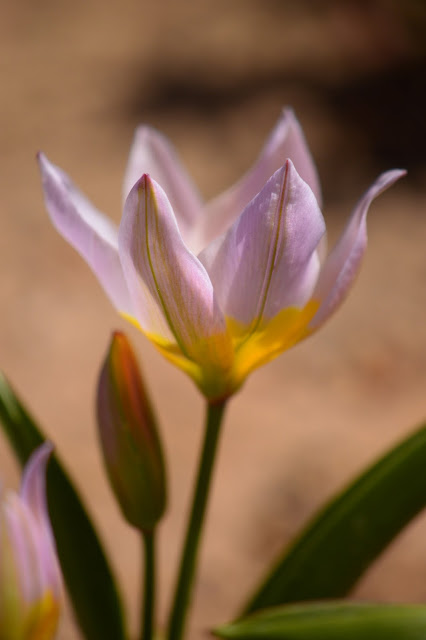 tulipa saxatalis, species tulip,  spring bulbs, desert garden, small sunny garden, photography, amy myers