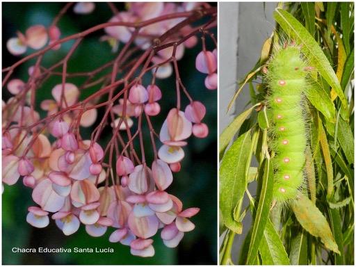 Racimo de flores / Larva con espiráculos de color rosado y blanco - Chacra Educativa Santa Lucía
