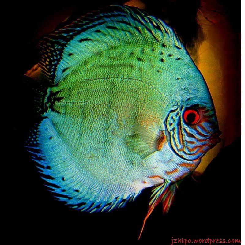 Gambar, foto Discus Jenis Ikan Hias Tawar Yang Berwarna Hijau