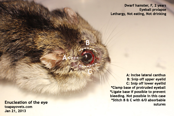 white dwarf hamsters with red eyes - photo #37