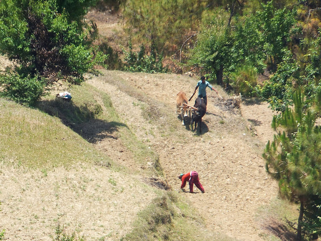 вспашка быками террас в Индии