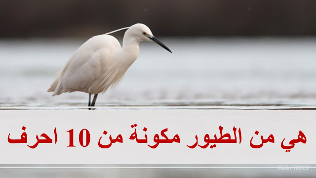 هي من الطيور مكونة من 10 احرف
