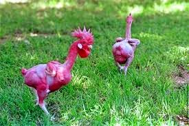 Image showing a featherless rooster and hen