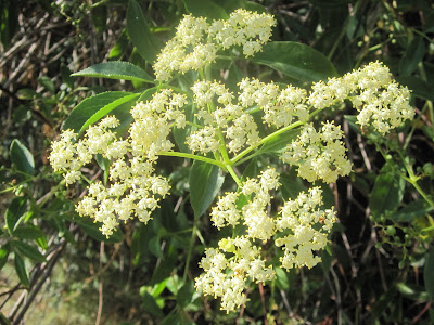 Blue elderberry, Sambucus Mexicana, San Gabriel Canyon
