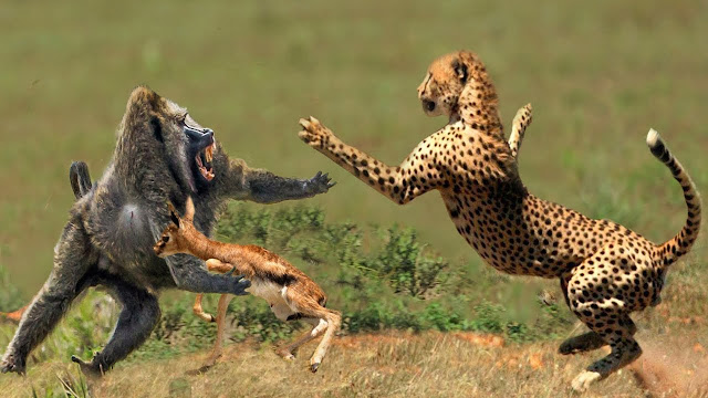 20 Amazing Facts About Cheetah In Hindi