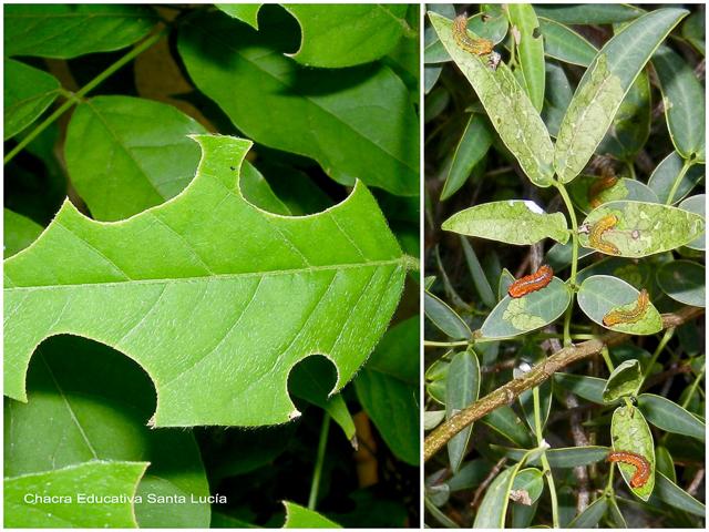 Hoja cortada por insectos y larvas alimentándose - Chacra Educativa Santa Lucía