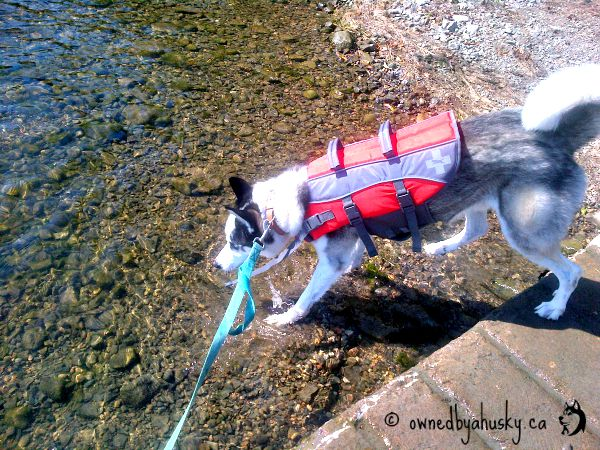 Huskies Drink Water First Time