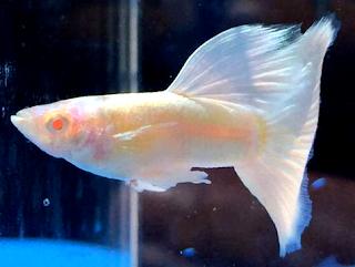 Gambar ikan hias air tawar Guppy Albino Platinum