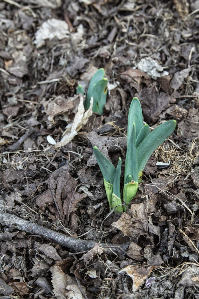 daffodils, spring bulbs, signs of spring, Anne Butera, My Giant Strawberry