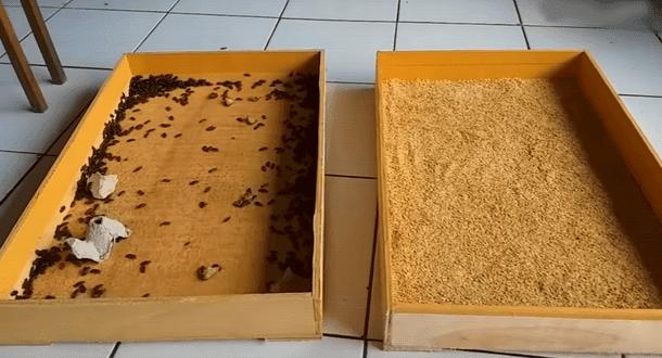 Campuran Dedak dan Pur Ayam Bahan Media Bertelur Kepik Ulat Hongkong Siap Digunakan