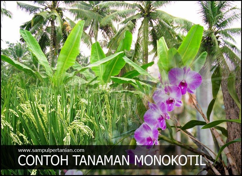 Contoh Tanaman Monokotil Atau Monocotyledon Tanaman Pertanian