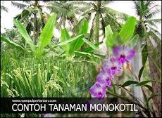Contoh tanaman Monokotil atau Monocotyledon (Tanaman Pertanian, Perkebunan dan tanaman Hias atau Rempah)