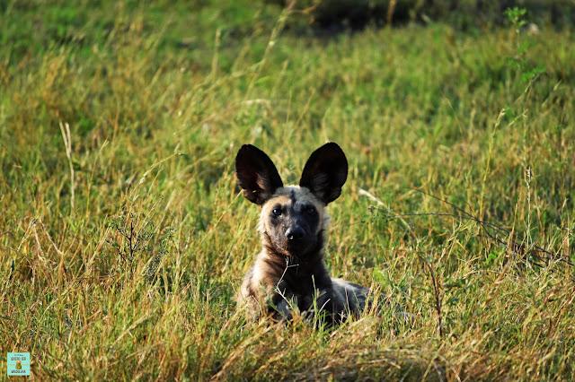 Wild Dog en Moremi, Botswana