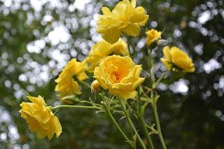 Bunga mawar kuing harum