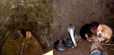 Two puppies fell into a well and a king cobra saved them from drowning