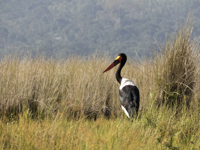 Saddle-billed Stork in Uganda