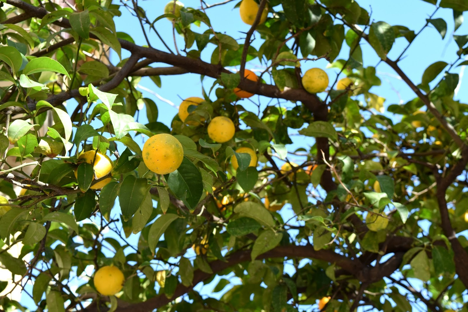 orange tree in italy