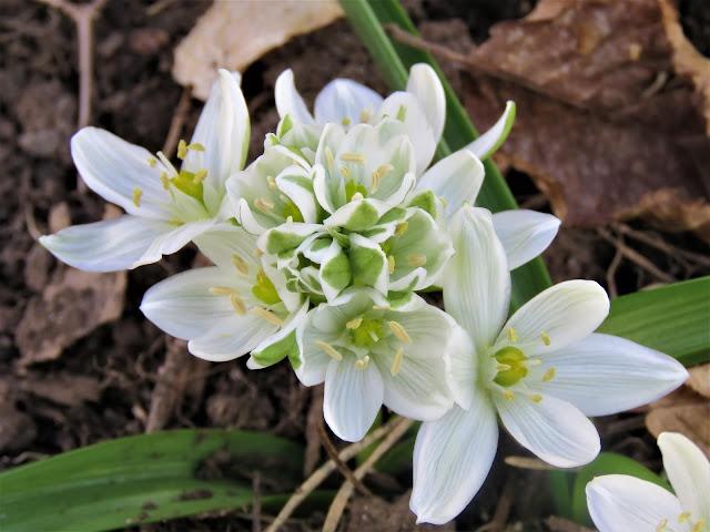 Hvit løkblomst i hagen