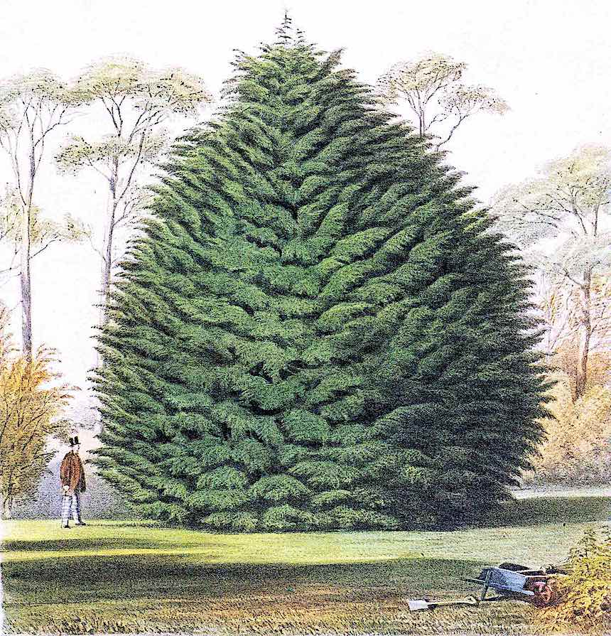 giant 1884 garden tree, color illustration, garden pine