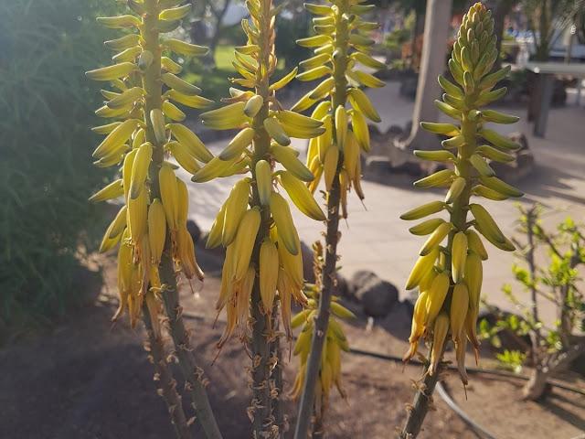 Infiorescenze Aloe vera