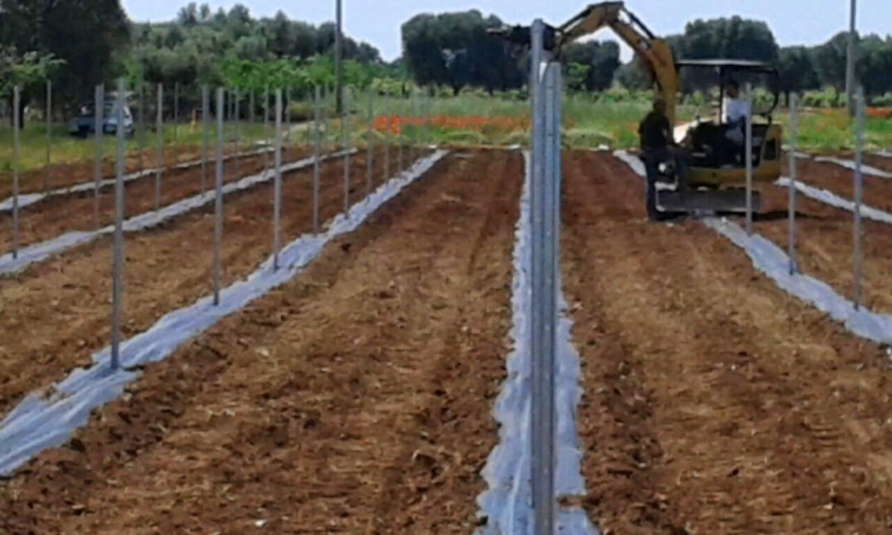 Agronomic advice primo impianto di goji in puglia for Coltivazione goji