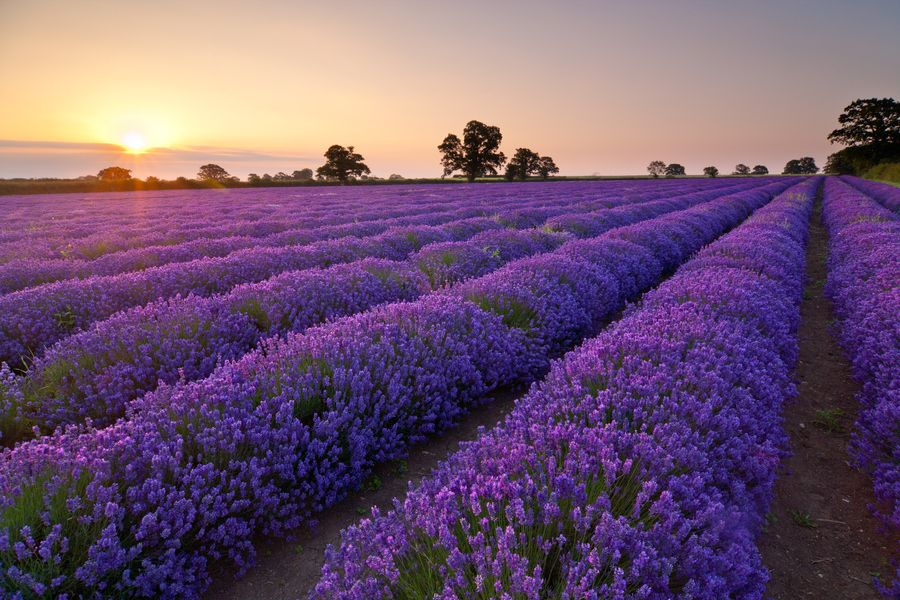 16. Sunrise over lavender field by Daugirdas Racys