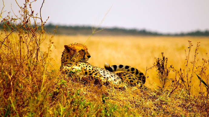 Wallpaper: Cheetah on Serengeti Plains