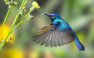 Beberapa Jenis Burung Kolibri