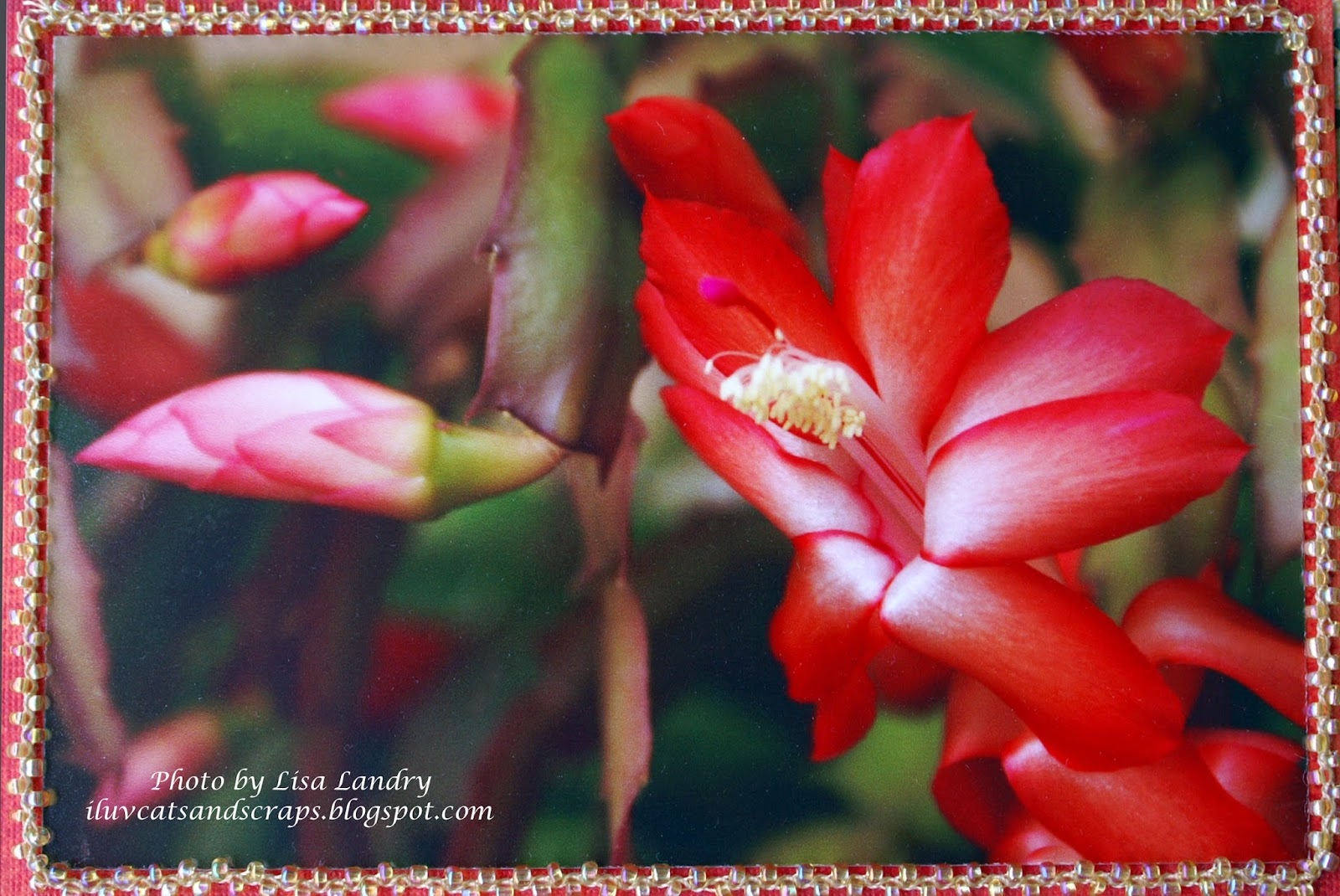 Iluvcats And Scraps My Christmas Cactus