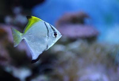 Temperamen Silver Moonyfish