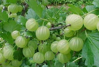obat tradisional herbal yang mudah untuk penyakit jantung