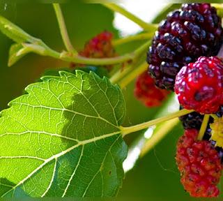 http://nyusandalan.com/manfaat-dan-khasiat-daun-buah-murbai-bagi-kesehatan