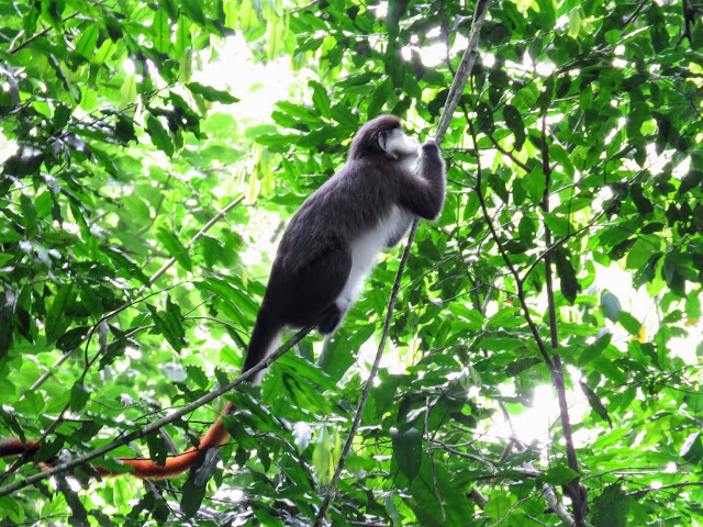 Red-tailed monkey in Uganda's Kibale National Forest