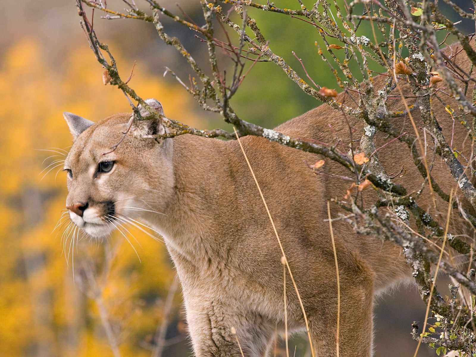 Cat Wallpaper Iphone X Wallpapers Y Fondos De Tigres Panteras Grandes Felinos