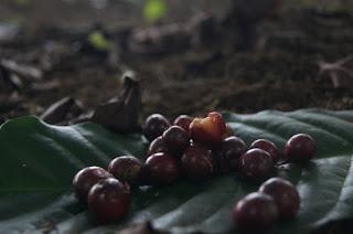 KOPI PUNGGEL  kopi penuh cerita produksi kampung teko patihombo   edisi gunung gilingan