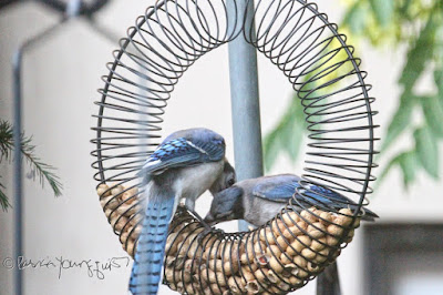 """The focus of this photo is of a two blue jays who are perched within a bird feeder which is made of coils and shaped like a wreath.This feeder has the function of """"holding"""" peanuts within a shell. The jay on the right is attempting to take a peanut from the feeder while the one on the right watches him. This """"scene"""" occurred in my garden, which is the setting for my book series, """"Words In Our Beak."""" Info re these books is included in another post within this blog @ https://www.thelastleafgardener.com/2018/10/one-sheet-book-series-info.html"""