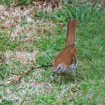 brown thrasher eating nut