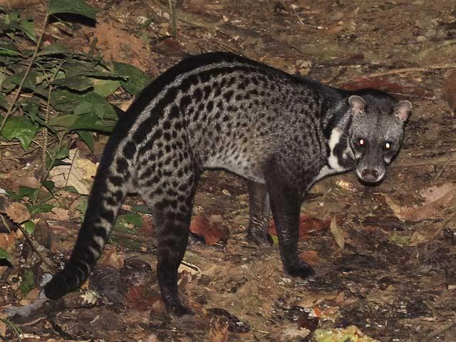 Malabar Large Spotted Civet