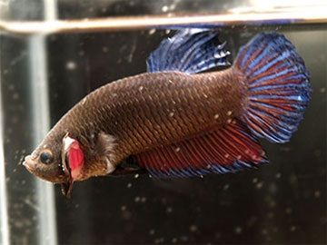 Image Siamese Fighting Fish Natural Habitat ( Betta splendens )